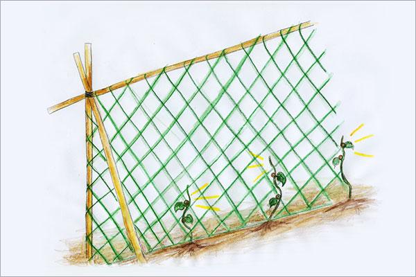 長芋栽培 支柱とネット張り