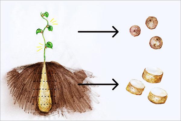 種いもの作り方