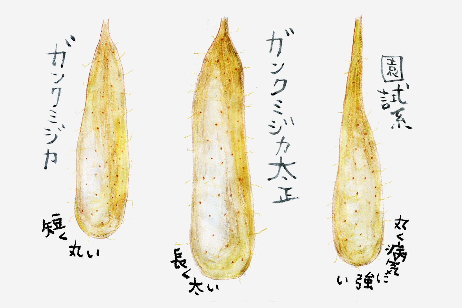 長芋の品種の違い